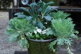 fall container plantings ornamental kale dirt simple