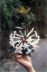 Tropical Fragrant Plants - butterfly gardenia tabernaemontana coronaria u0027plena u0027 fragrant