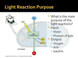 What Happens During The Light Reactions Of Photosynthesis Photosynthesis Light Reaction