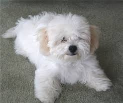 bichon frise puppy 8 weeks puppy bichon frise google image result for http puppydogweb com