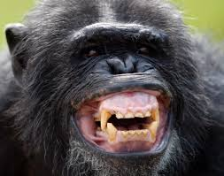 siege social bonobo smiling chimpanzee photos adorable smiling animals chimpanzee