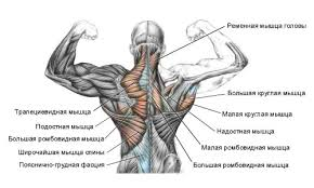 Anatomy Of Human Back Muscles Anatomy Topography And Function Of Latissimus Dorsi