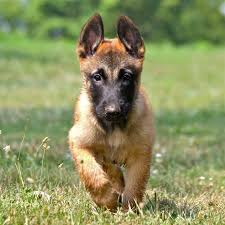 belgian sheepdog puppies for sale in pa belgian shepherd malinois malinois pinterest belgian