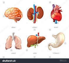 Pictures Of The Human Body Internal Organs Human Internal Organs Anatomy Cartoon Vector Stock Vector