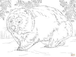 realistic wombat coloring page free printable coloring pages