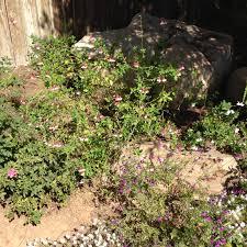 Wpa Rock Garden by 2016 Salvia Update U2026 Queen Of The Dirt
