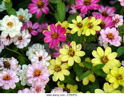 Zinnia Flowers Zinnia Flowers Stock Photos U0026 Zinnia Flowers Stock Images Alamy