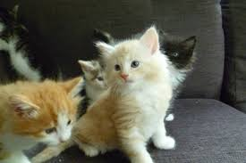norwegian forest cat cross kittens manningtree essex pets4homes