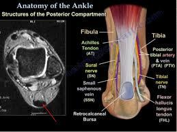 Radiology Anatomy Foot Radiological Anatomy Shorouk Zaki