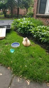 woke up to an injured duck in my backyard story below album on