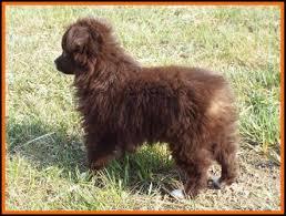australian shepherd newfoundland ghost eye mini aussie avail litter 2 pup2 jessie black tri male
