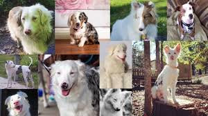 australian shepherd double merle what is a double merle youtube