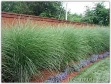 miscanthus sinensis maiden grass ornamental grasses gardening