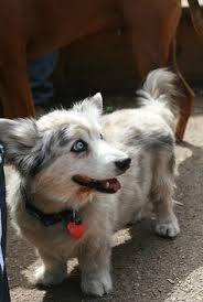australian shepherd and husky mix this is a puppy australian shepherd husky australian shepherd