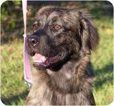 australian shepherd yorkie nova lee adopted puppy nova lee orlando fl australian