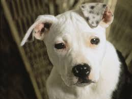 american pitbull terrier white with black spots funny small american pitbull terrier photo animals pinterest