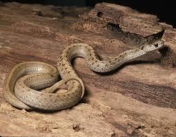 midland brownsnake midland brown snake mdc discover nature