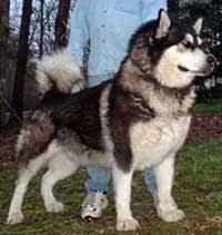belgian shepherd vs pitbull fight akitas vs alaskan malamute fighting what the win dog q u0026a