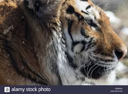 Cool Stock by Siberian Amur Tiger A Young Male Siberian Tiger Watches On A Cool