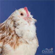 can i feed my chickens black oil or striped sunflower seeds from