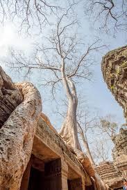 century trees ta prohm temple angkor thom siem reap