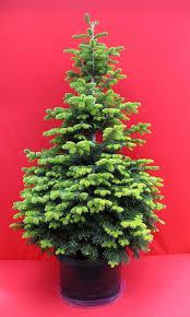 classic nordman fir