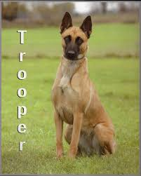 belgian shepherd exercise requirements trooper belgian malinois scent detection dog