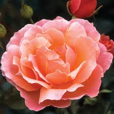 Fragrant Patio Plants Rose Fragrant Delight J Parker Dutch Bulbs