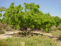 native sonoran desert plants sonoran desert trees google search desert trees pinterest
