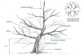 trees formative pruning space for