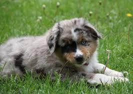 australian shepherd vs miniature american shepherd 5 new dog breeds you haven u0027t heard of yet