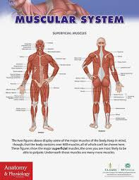 Anatomy And Physiology The Muscular System Anatomy U0026 Physiology Poster Series 15 Posters