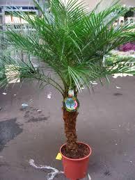 palme f r balkon palmen fr den balkon ideen fr den balkon kleiner f r