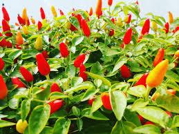edible ornamentals edibleornamenta