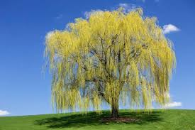 interesting facts about weeping willow trees lovetoknow