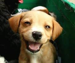 Smiling Dog Meme - a bunch of smiling dogs to bring joy to everyone album on imgur