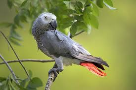 Parrot Decorations Home Facts About African Grey Parrots