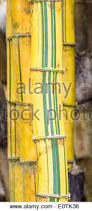 green and yellow striped bamboo plant stem in sunderland winter