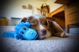 australian shepherd emoji dog breeds most likely to run away simplemost