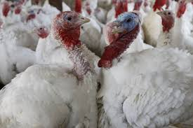 turkeys farms