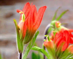 indian paintbrush flower castilleja coccinea scarlet indian paint brush seed