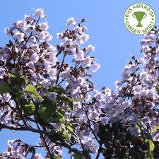 paulownia tomentosa tree empress or princess tree foxglove tree