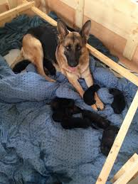 belgian shepherd ears almost 7 months old with limp ears german shepherd dog forums