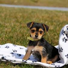 short haired chorkie chorkie puppies for sale chorkie dog breed info greenfield puppies