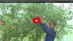 how to grow tomatoes from seeds homegrown organic money saving