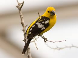 mexican yellow grosbeak or yellow grosbeak pacific slope of