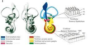 Basic Anatomy Of The Ear The Development Of The Vertebrate Inner Ear Sciencedirect