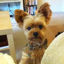 yorkie teddy bear face haircut yorkie designer cuts with knot google search yorkie hair
