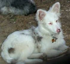 australian shepherd double merle coast to coast adoptions