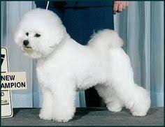 d douglas bichons frise bichon frise dog breed selector animal planet bichons